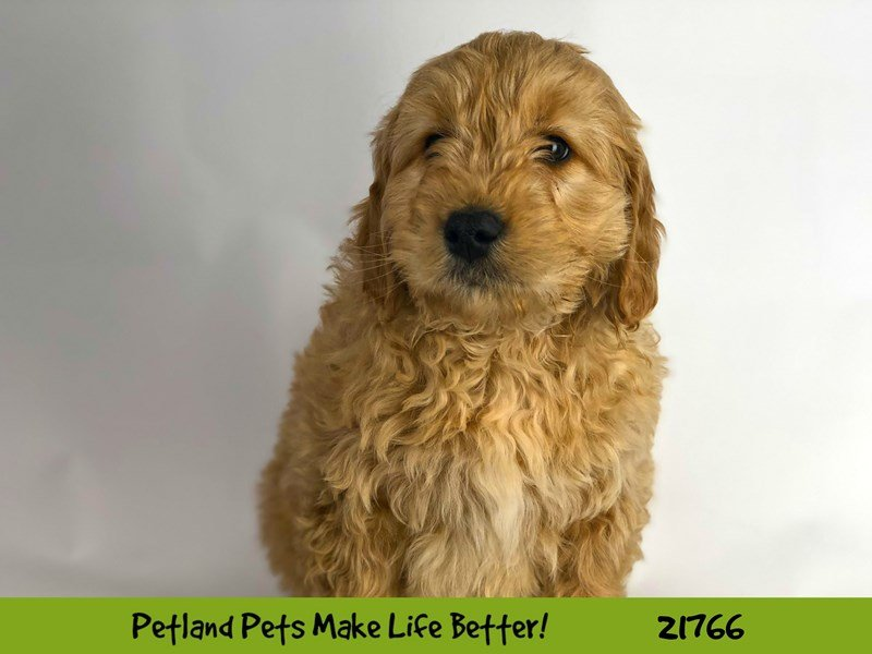 Visit Our Mini Goldendoodle Puppies for Sale near Oswego, Illinois!