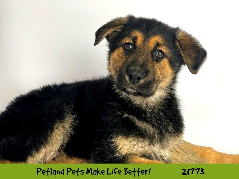 German Shepherd-DOG-Female-Blk/Tan-2266354-Petland Naperville