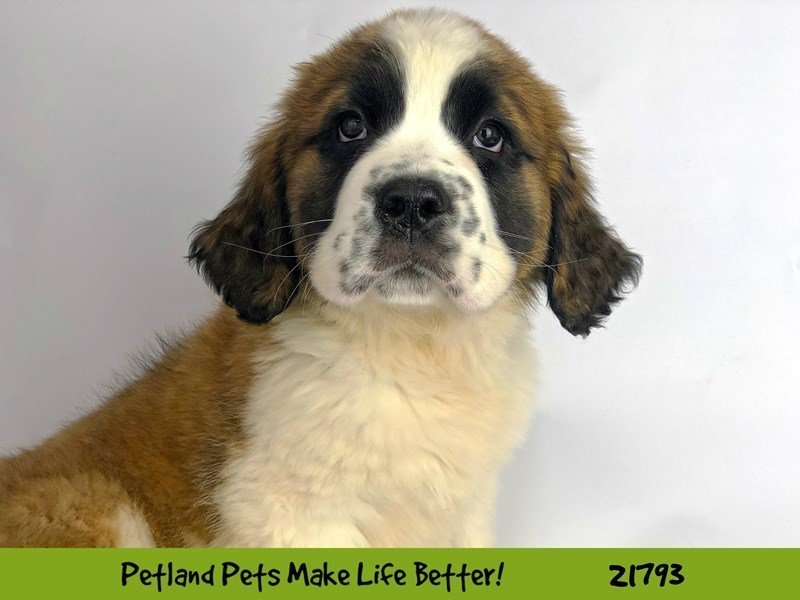 Saint Bernard-Female-Brown / White-2271104-Petland Naperville
