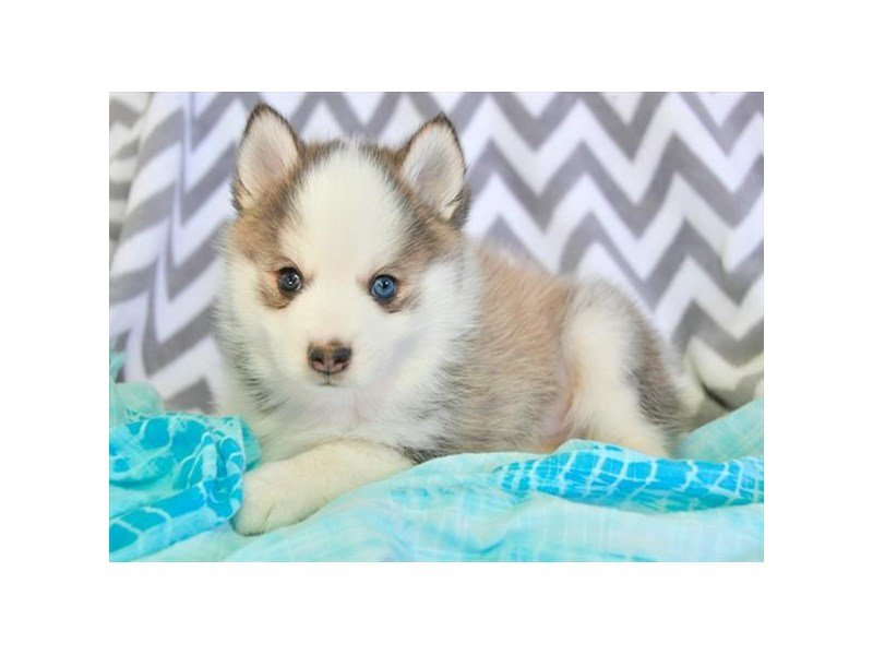 Visit Our Pomsky Puppies For Sale Near St Charles Illinois