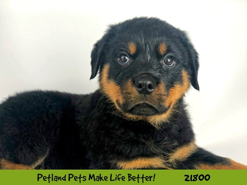 Rottweiler-DOG-Male-Blk/Tan-2276856-Petland Naperville