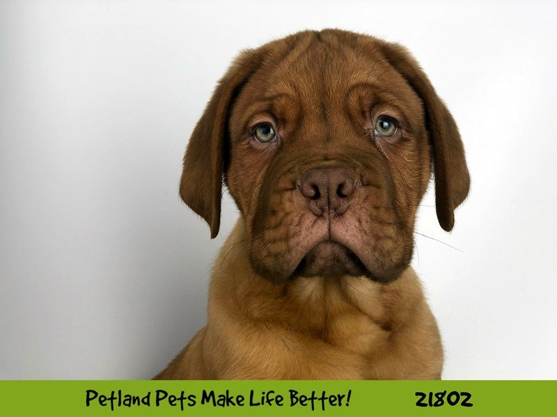 Dogue De Bordeaux-Male-Red-2276675-Petland Naperville
