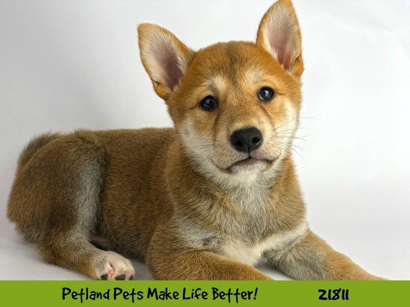 Shiba Inu-DOG-Male-Red-2281953-Petland Naperville