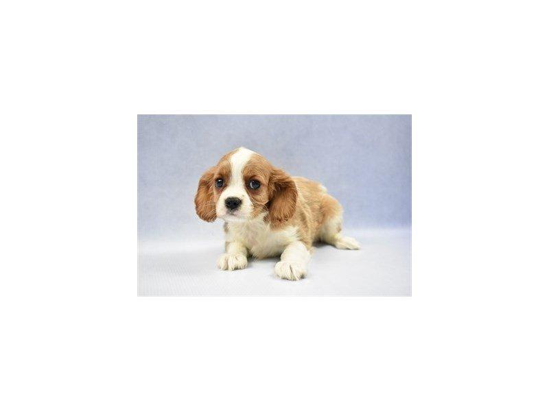 Cavalier King Charles Spaniel-Female-Blenheim-2286510-Petland Naperville