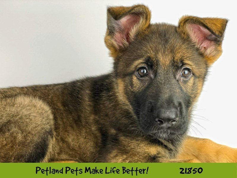 Visit Our German Shepherd Puppies For Sale Near St Charles Illinois