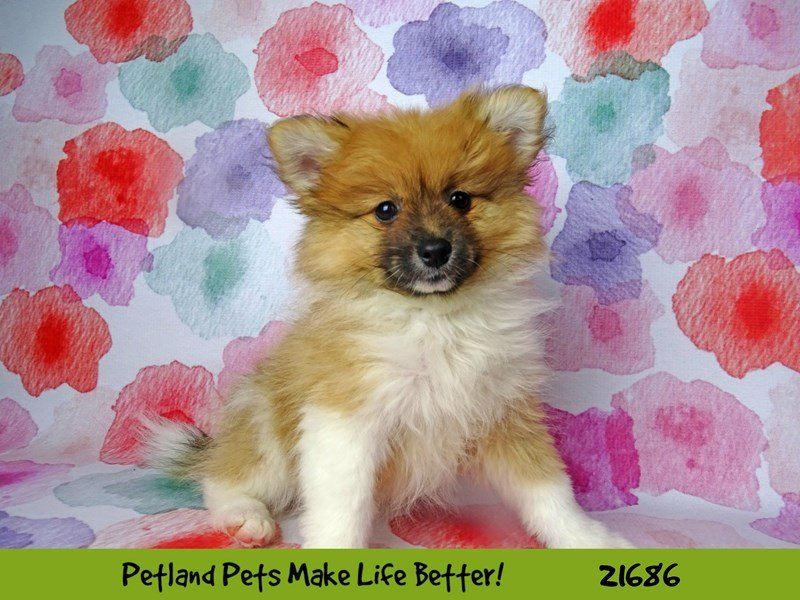 Pomeranian-DOG-Male-Brown / White-2244346-Petland Naperville