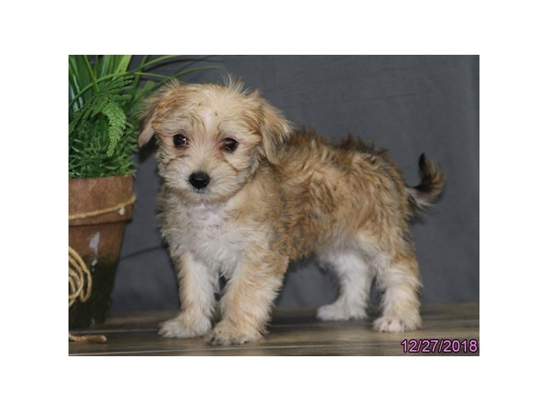 Morkie-DOG-Male-Tan / White-2249629-Petland Naperville