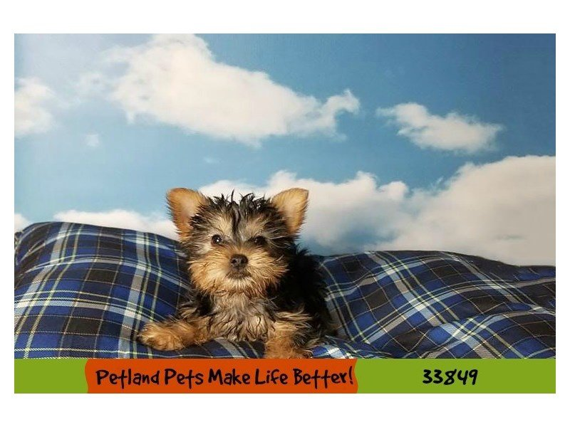 Silky Terrier-DOG-Male-Black / Tan-2250149-Petland Naperville