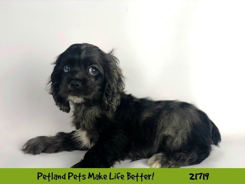 Cocker Spaniel-Female-Buff-2255278-Petland Naperville