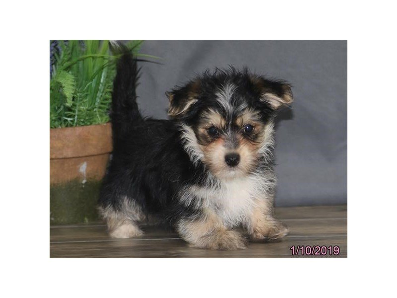 Morkie-DOG-Male-Black-2260503-Petland Naperville