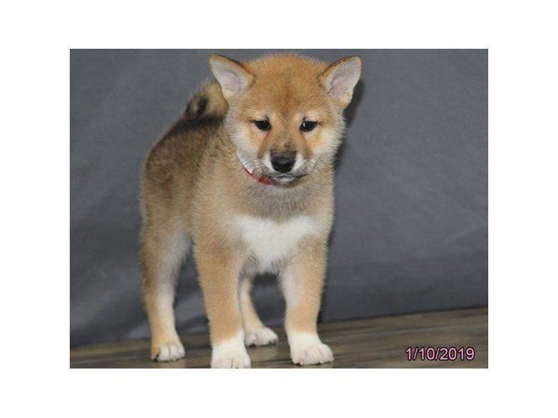 Shiba Inu-DOG-Female-Brown-2260510-Petland Naperville
