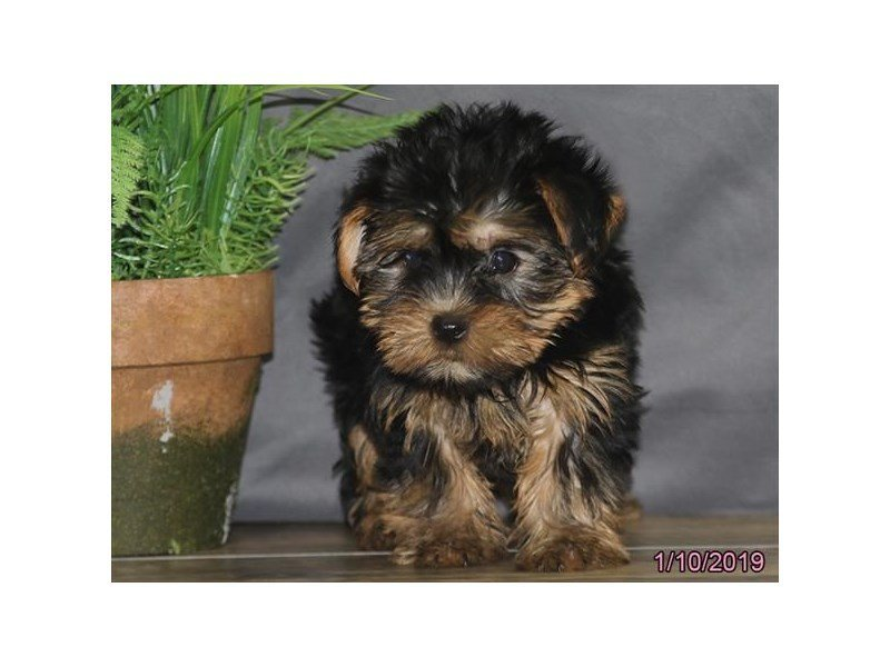 Yorkshire Terrier-DOG-Female-Black / Tan-2260541-Petland Naperville