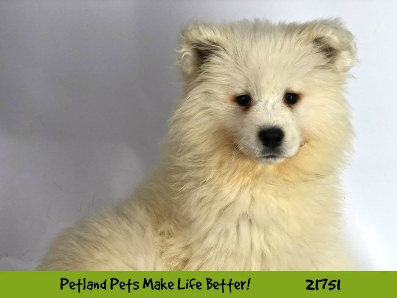 Samoyed-Female-White-2260499-Petland Naperville