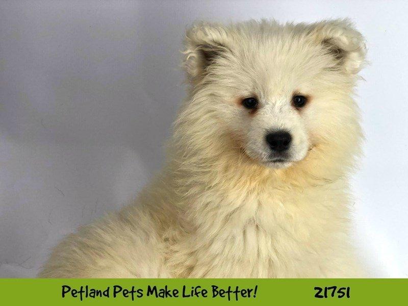 Samoyed-Female-White-2260499-Petland Aurora