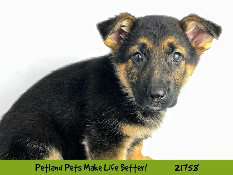 German Shepherd-DOG-Female-Blk/Tan-2261461-Petland Naperville