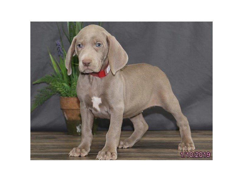 Weimaraner-DOG-Female-Gray-2265960-Petland Naperville