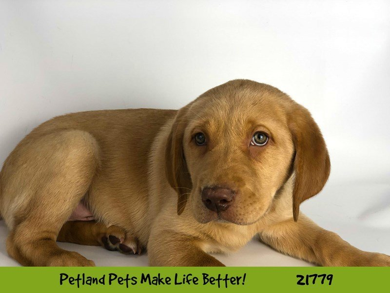 Labrador Retriever-DOG-Male-Yellow-2266710-Petland Naperville