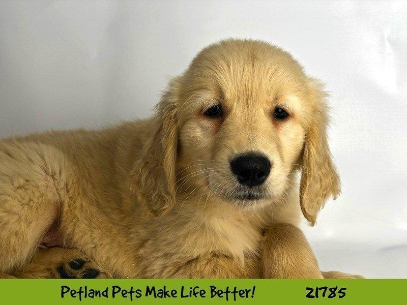 Golden Retriever-DOG-Male-Golden-2271261-Petland Naperville