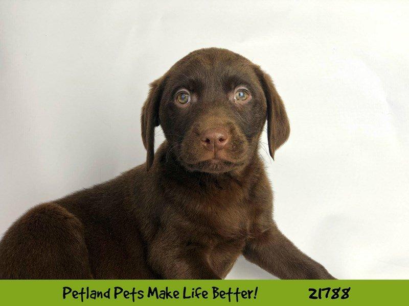 Labrador Retriever-DOG-Male-Chocolate-2271341-Petland Naperville