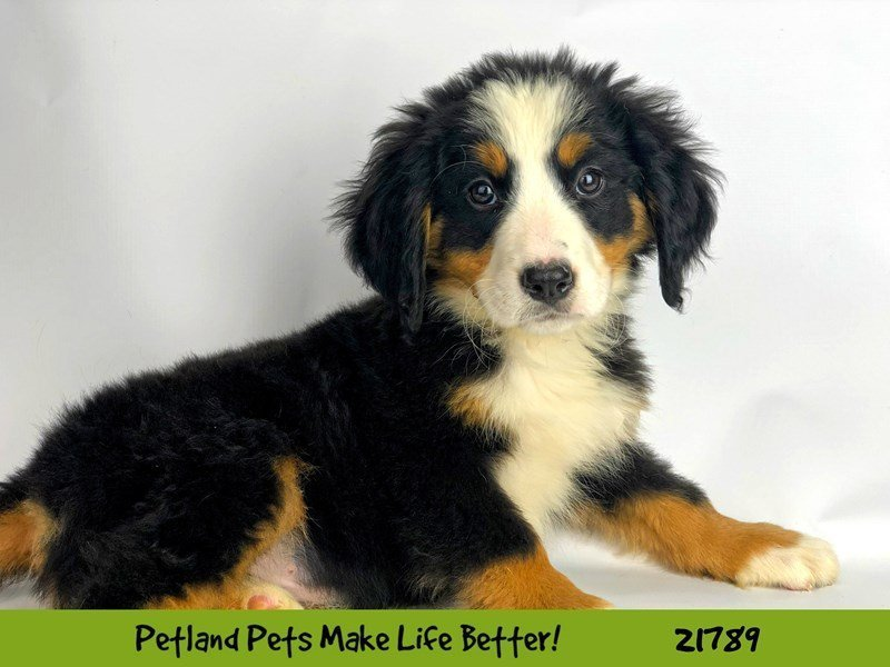 Bernese Mountain Dog-DOG-Female-Black Rust and White-2271461-Petland Naperville