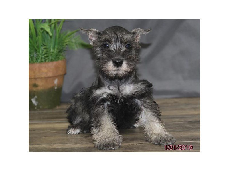 Miniature Schnauzer-DOG-Male-Black-2276669-Petland Naperville