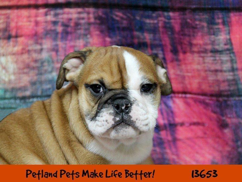 English Bulldog-DOG-Female-Red / White-2276504-Petland Naperville