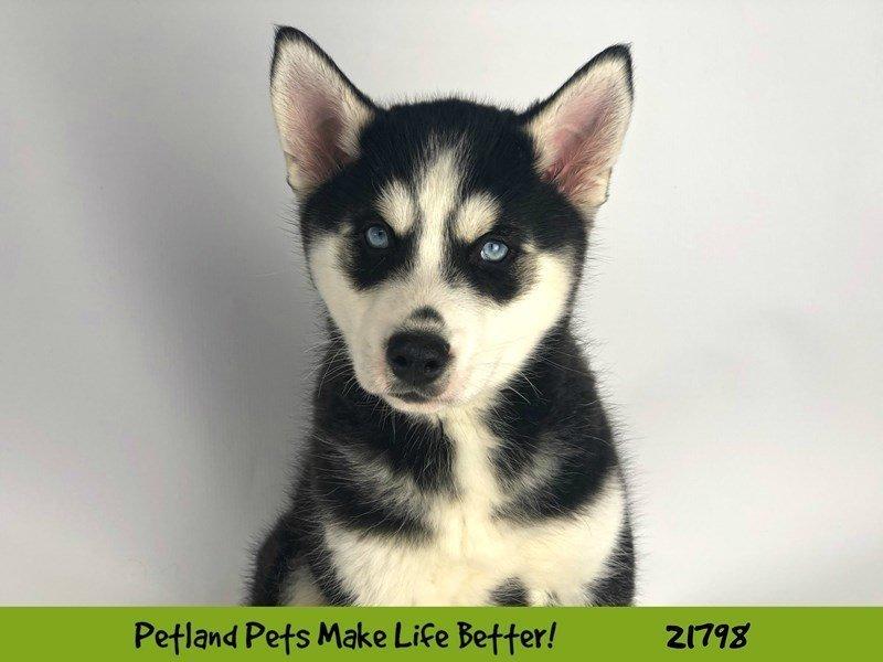 Siberian Husky-DOG-Male-Blk/Wht-2276714-Petland Naperville