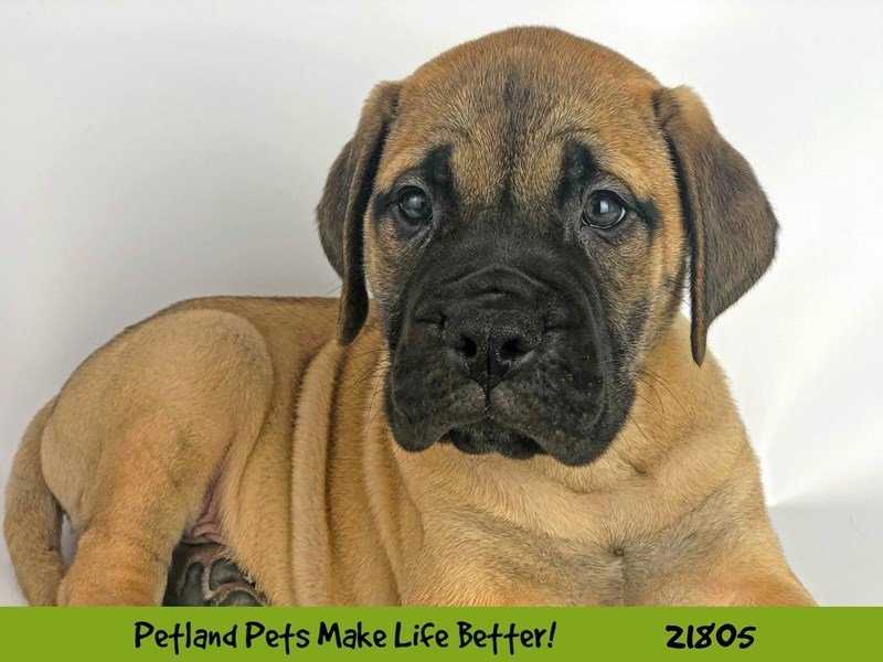 Bullmastiff-Male-Red Fawn-2276671-Petland Naperville