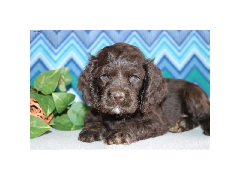 Cocker Spaniel-DOG-Male-Chocolate-2282940-Petland Naperville
