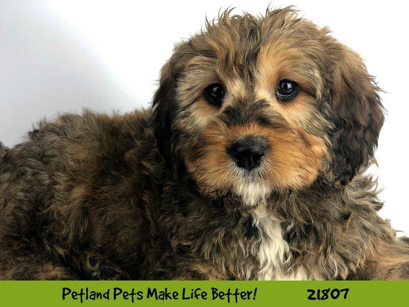 Mini Bernadoodle-DOG-Female-Sable-2281725-Petland Naperville