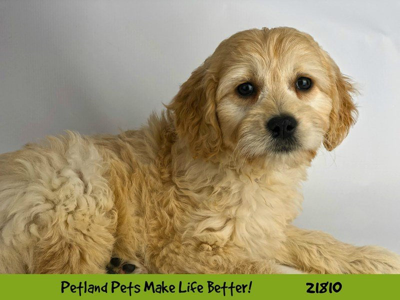 F1 Mini Golden Doodle-DOG-Male-Cream-2281892-Petland Naperville