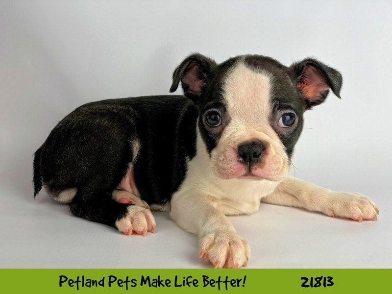 Boston Terrier-Male-Blk/Wht-2281984-Petland Naperville