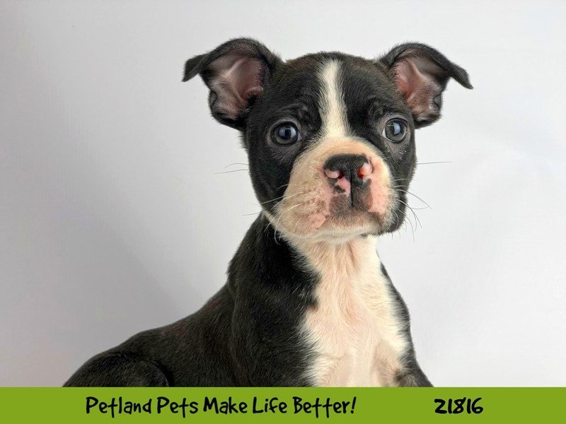 Boston Terrier-DOG-Female-Blk/Wht-2282834-Petland Naperville