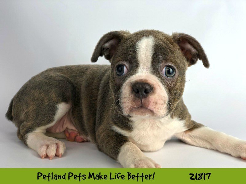 Boston Terrier-DOG-Female-Blue-2282853-Petland Naperville