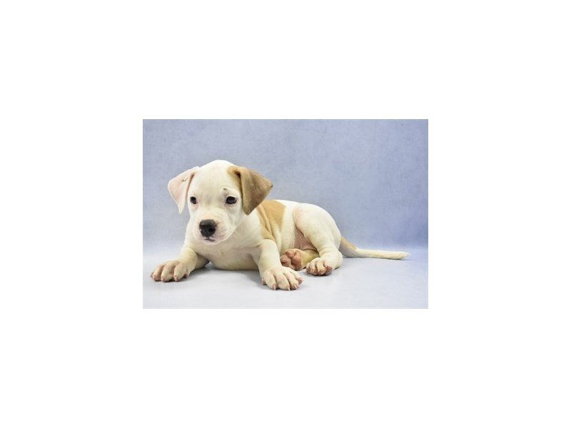 American Bulldog-DOG-Female-White and Red-2286630-Petland Naperville