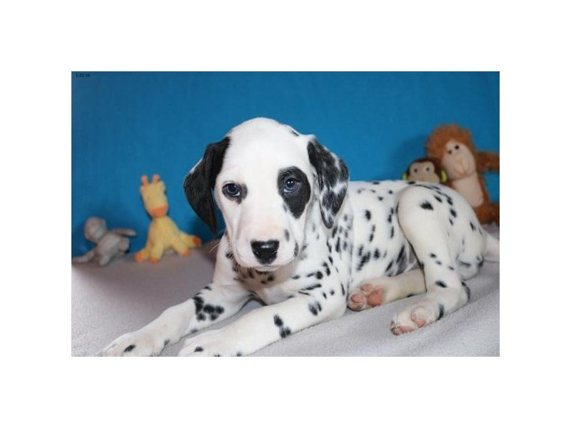Dalmatian-DOG-Female-Black / White-2287688-Petland Naperville