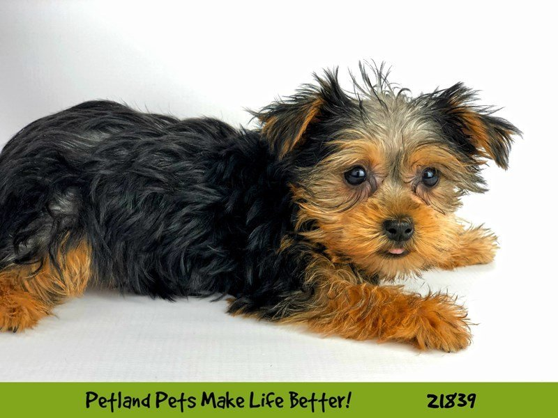 Yorkshire Terrier-DOG-Female-Black / Tan-2287694-Petland Naperville