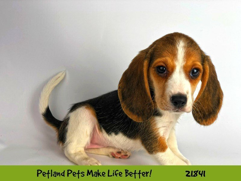 Beagle-DOG-Female-Black White / Tan-2287691-Petland Naperville