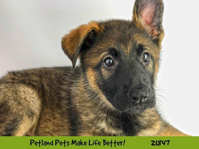 German Shepherd-DOG-Female-Sable-2288056-Petland Naperville