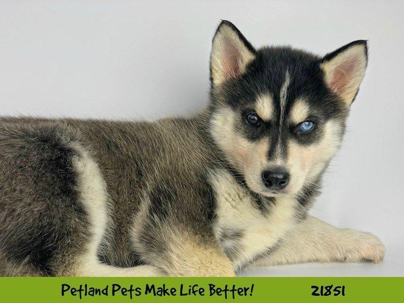 Siberian Husky-DOG-Female-Blk/Wht-2288118-Petland Naperville