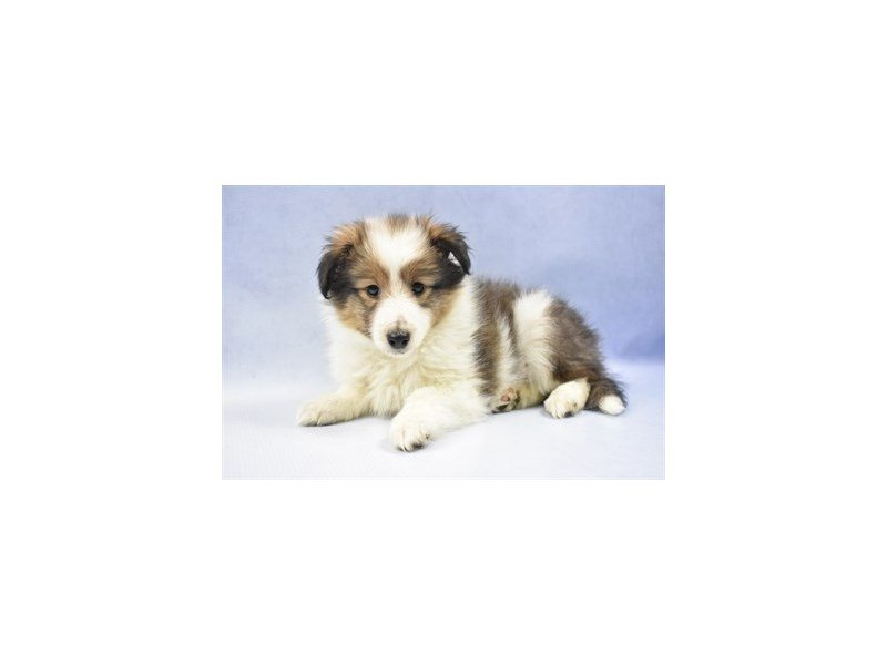 Shetland Sheepdog-DOG-Female-Sable and White-2292206-Petland Naperville