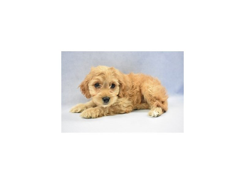 Cavachon-DOG-Male-Cream-2292395-Petland Naperville