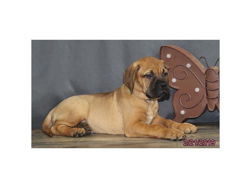 Bullmastiff-Female-Red Fawn-2292795-Petland Naperville