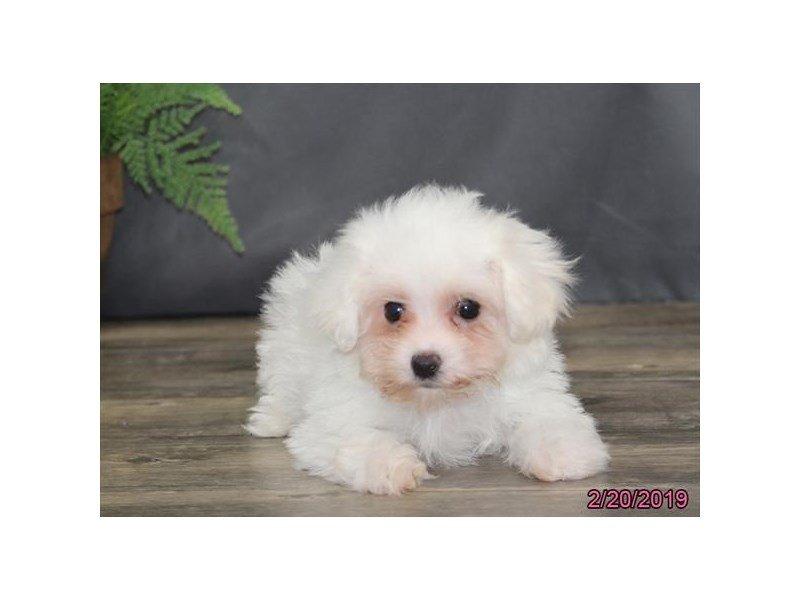 Maltichon-DOG-Female-White-2292796-Petland Naperville