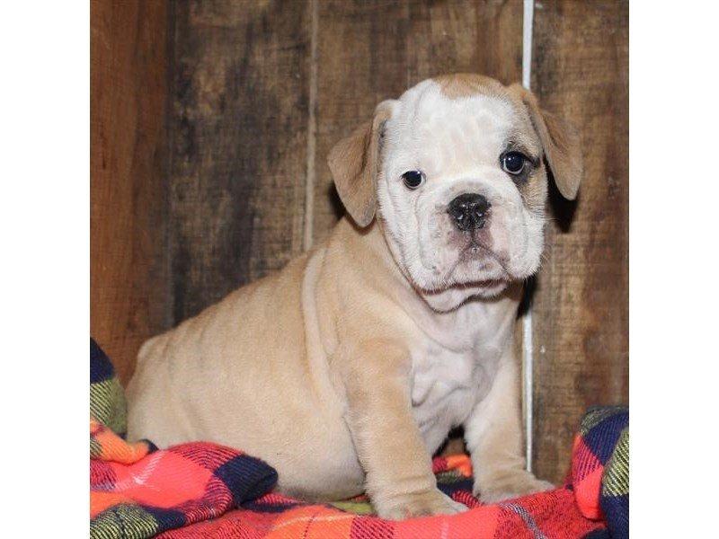 Victorian Bulldoge-Male-Fawn / White-2293432-Petland Naperville