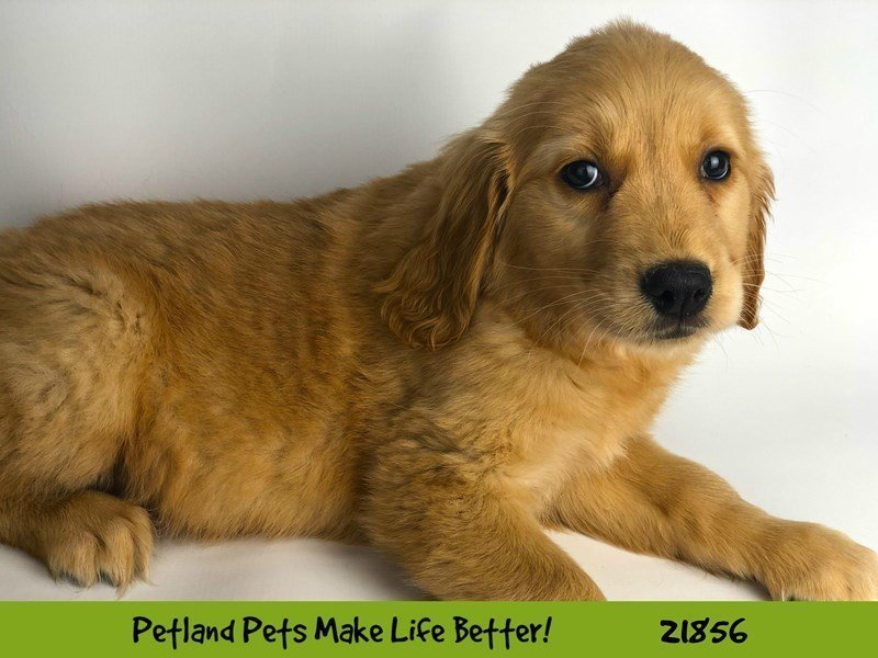 Golden Retriever-DOG-Female-Golden-2293058-Petland Naperville