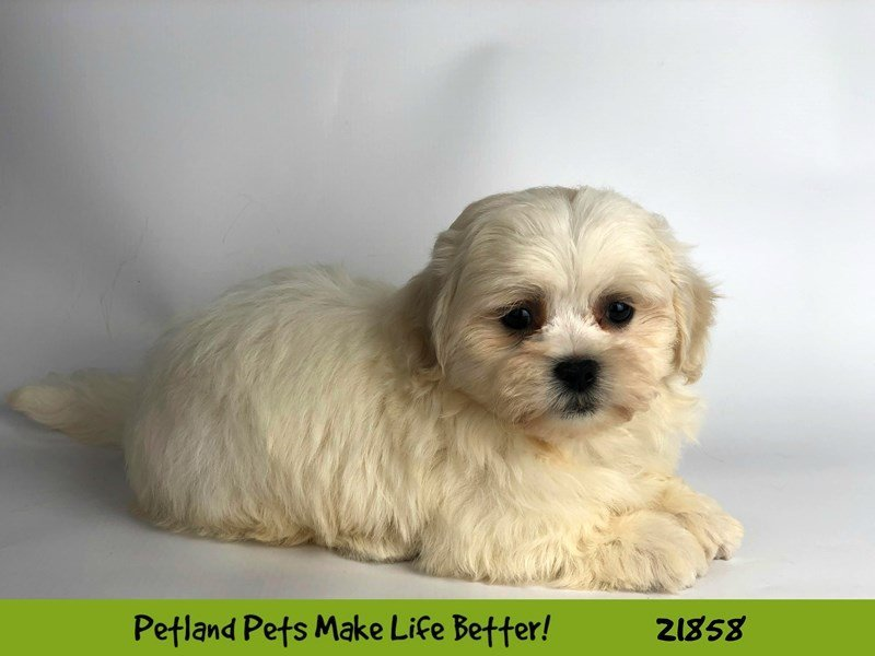 Teddy Bear-Male-White-2293165-Petland Naperville