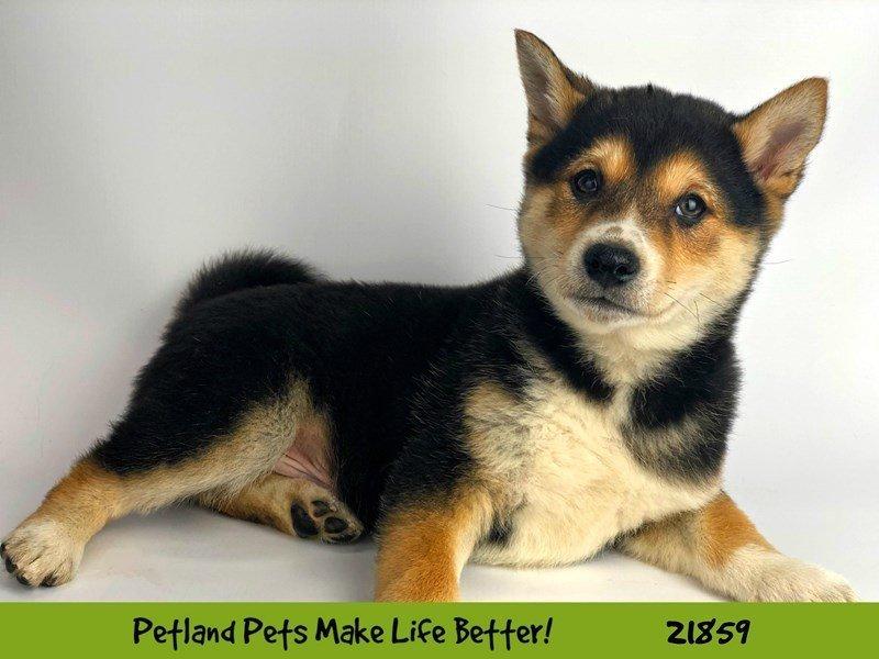 Shiba Inu-DOG-Female-Blk/Tan-2293236-Petland Naperville