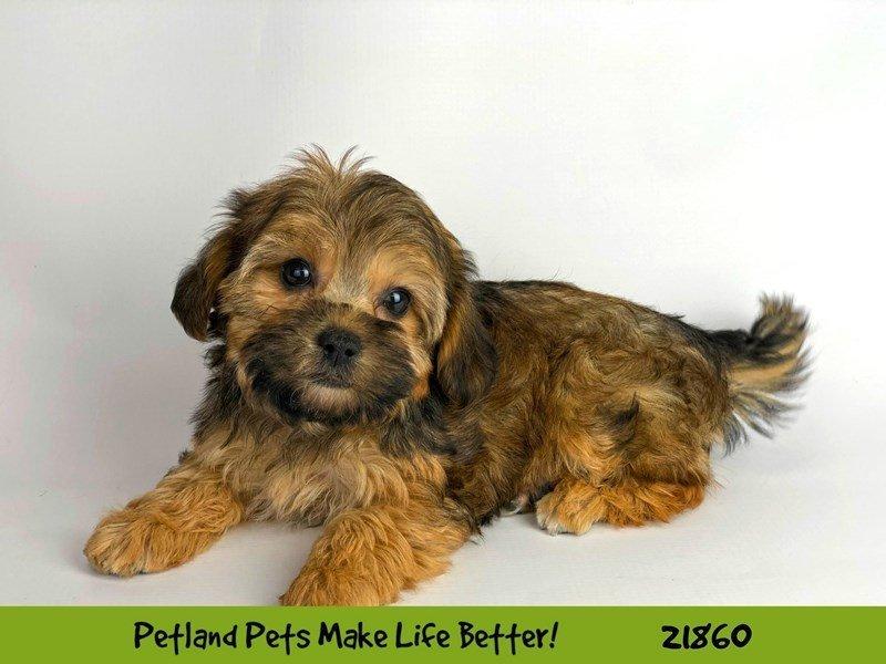 Yorkiepoo-DOG-Female-Sable-2293381-Petland Naperville
