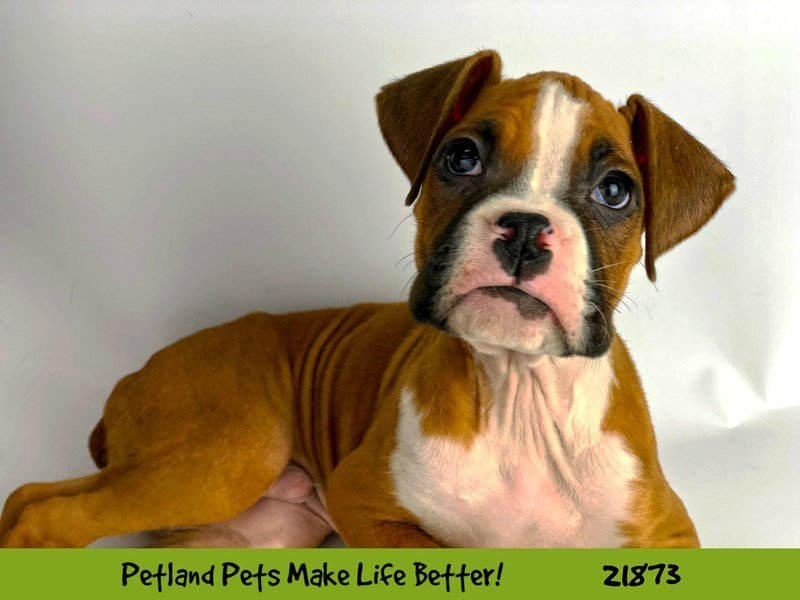 Boxer-DOG-Male-Fawn/Wht-2293562-Petland Naperville